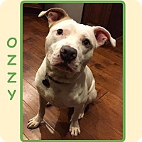 Adopt A Pet :: OZZY - Dallas, NC