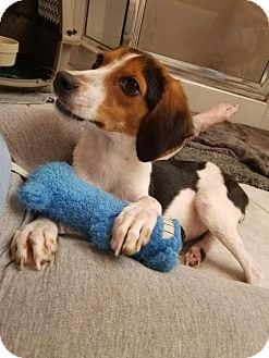 Beagle Mix Dog for adoption in Tampa, Florida - Trixie AKA Baby