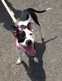 American Bulldog/Terrier (Unknown Type, Small) Mix Dog for adoption in Salem, Ohio - Bessie