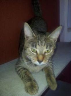 Domestic Shorthair/Domestic Shorthair Mix Cat for adoption in St. Thomas, Virgin Islands - MONICA