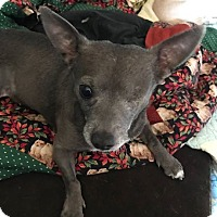 Adopt A Pet :: Gray - Chicago, IL