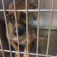 Dachshund Mix Dog for adoption in Greensboro, North Carolina - Bailey
