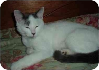 Domestic Shorthair Cat for adoption in Troy, Ohio - Marmalade