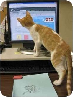 Domestic Shorthair Cat for adoption in Fernandina Beach, Florida - Aeris
