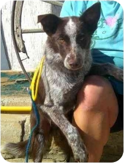 Australian Cattle Dog Mix Puppy for adoption in Palmdale, California - Rex