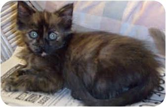Domestic Mediumhair Kitten for adoption in Honesdale, Pennsylvania - Shadow