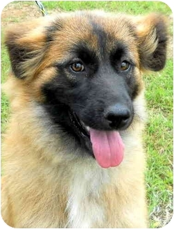 Belgian Tervuren Mix Puppy for adoption in Pawling, New York - HANNAH (TN )