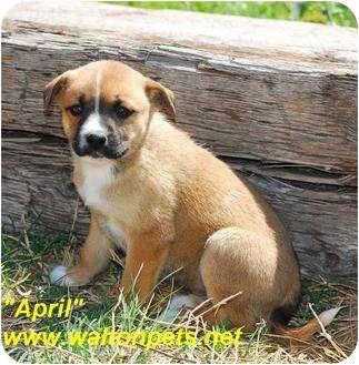 Boxer Mix Puppy for adoption in Monroe, Georgia - April