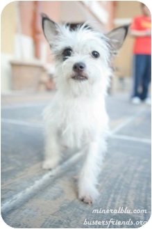 Terrier (Unknown Type, Small) Mix Puppy for adoption in Houston, Texas - Wendy