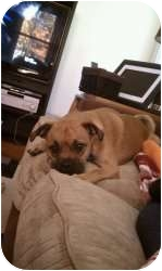 Pug Mix Dog for adoption in Wayne, New Jersey - Miles