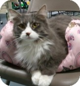 Domestic Longhair Cat for adoption in Anchorage, Alaska - Anthony