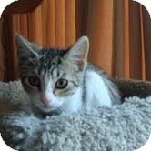 Domestic Shorthair Kitten for adoption in Toronto, Ontario - Lavender