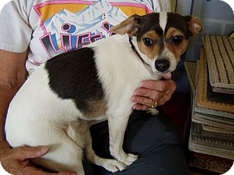 Chihuahua/Jack Russell Terrier Mix Dog for adoption in Cedaredge, Colorado - Tank....adopted