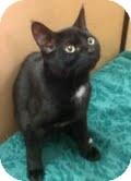 Domestic Shorthair Kitten for adoption in Modesto, California - Merlin