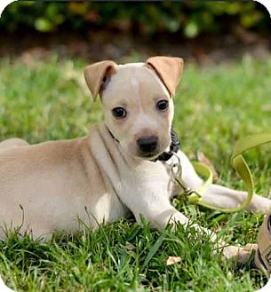 Labrador Retriever/Terrier (Unknown Type, Medium) Mix Dog for adoption in Houston, Texas - Stuart