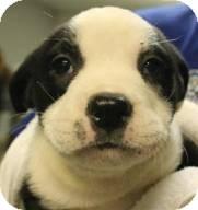 English Bulldog/Border Collie Mix Puppy for adoption in elizabethtown, New York - Soul