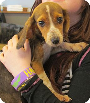 Beagle/Hound (Unknown Type) Mix Puppy for adoption in Chesterfield, Virginia - Mo