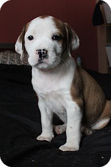 American Bulldog/American Pit Bull Terrier Mix Puppy for adoption in Midland, Michigan - Dot