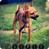 Adopt A Pet :: Cooper - Justin, TX