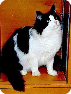 Domestic Longhair Cat for adoption in Sunderland, Ontario - Sam the Sweetheart