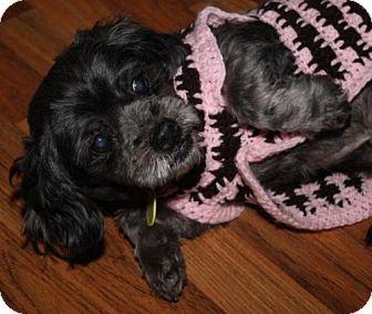 Pekingese/Toy Poodle Mix Dog for adoption in London, Ontario - Princess Maggie