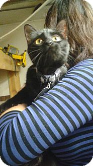 Domestic Shorthair Cat for adoption in Bronx, New York - Cleo