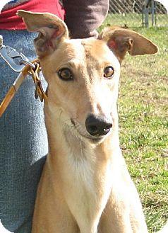 Greyhound Dog for adoption in Randleman, North Carolina - Tami