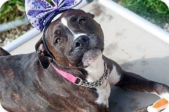 Pit Bull Terrier Mix Dog for adoption in Manahawkin, New Jersey - Lola
