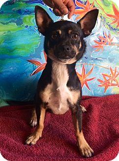 Chihuahua Mix Dog for adoption in San Diego, California - ERNIE