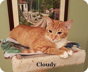 Domestic Shorthair Kitten for adoption in Bentonville, Arkansas - Cloudy