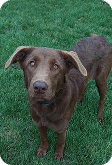 Labrador Retriever Mix Dog for adoption in New Oxford, Pennsylvania - Tinsel
