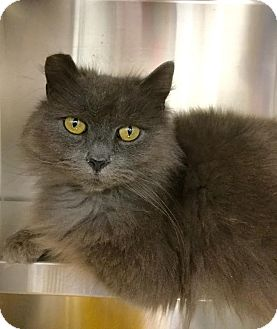 Domestic Mediumhair Cat for adoption in Webster, Massachusetts - Moses