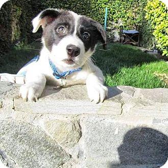 St. Bernard/Border Collie Mix Puppy for adoption in Rathdrum, Idaho - Wrangler