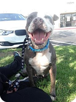 American Pit Bull Terrier Dog for adoption in Temecula, California - Tinkerbell