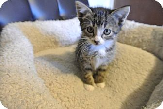 Domestic Shorthair Kitten for adoption in Des Moines, Iowa - Bella Kitty