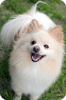 Pomeranian Mix Dog for adoption in Fremont, Nebraska - Nena