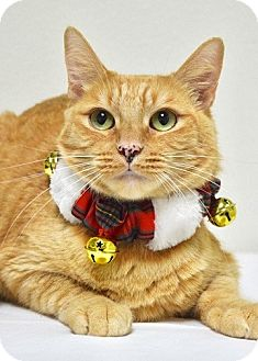 Domestic Shorthair Cat for adoption in Dublin, California - Butters