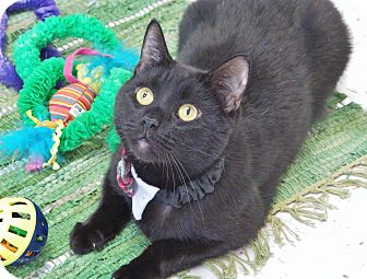 Domestic Shorthair Cat for adoption in Chambersburg, Pennsylvania - Winchester