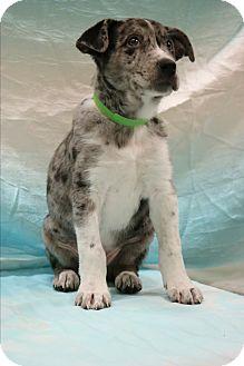 Australian Shepherd/Great Dane Mix Puppy for adoption in Allentown, Pennsylvania - Tyson