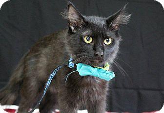 Domestic Mediumhair Kitten for adoption in Ocean Springs, Mississippi - Noir
