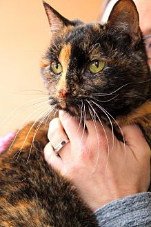 Domestic Shorthair Cat for adoption in Bardstown, Kentucky - Olive