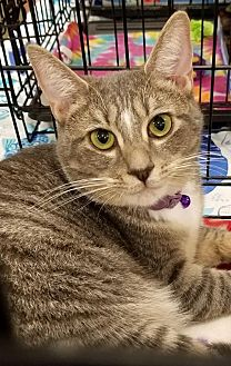 Domestic Shorthair Cat for adoption in Johnson City, Tennessee - Lia