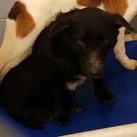 Adopt A Pet :: Bopity - Savannah, TN