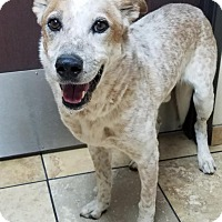 Adopt A Pet :: Thomas - Las Vegas, NV