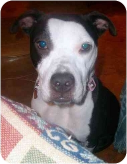 American Pit Bull Terrier/American Staffordshire Terrier Mix Dog for adoption in Lipan, Texas - Glenna