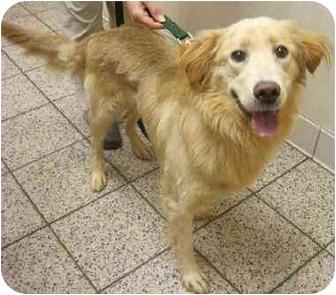 Golden Retriever Dog for adoption in Cleveland, Ohio - Levi