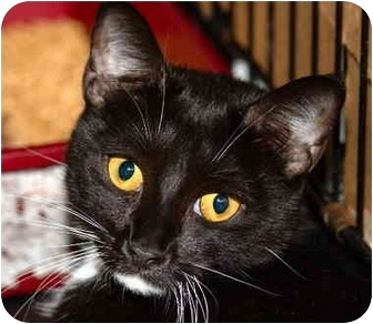 Domestic Shorthair Cat for adoption in Brooklyn, New York - Harriet Beecher Stowe