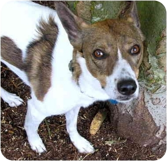 Whippet Mix Dog for adoption in Portland, Oregon - Lily