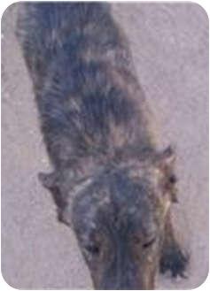Shepherd (Unknown Type)/Chow Chow Mix Puppy for adoption in Tucson, Arizona - Papa