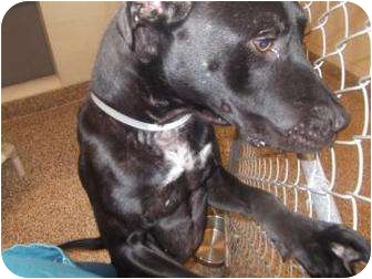 American Pit Bull Terrier Mix Dog for adoption in North Charleston, South Carolina - Brutus
